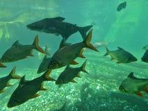 Carpas no aquário Fotografia de Stock
