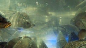 Carpas vivas grandes en el acuario metrajes