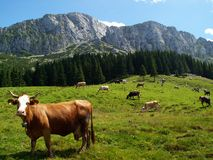 Carpathian Adventure II. Traditional cow herding in Romania Royalty Free Stock Photo