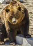 Carpathian bear stock images