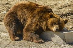 Carpathian bear royalty free stock photos