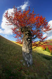 Carpathian Beech Royalty Free Stock Photography