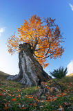 Carpathian Beech Royalty Free Stock Photo