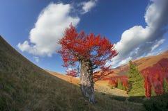 Carpathian Beech Royalty Free Stock Image