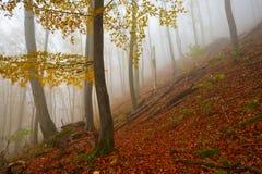 Carpathian beech forest, Slovakia. Royalty Free Stock Photography