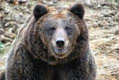 Carpathian björn Arkivbilder