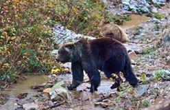 Carpathian Brown Bear Stock Photos