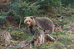 Carpathian Brown Bear Stock Photography
