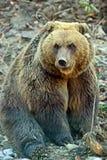 Carpathian Brown Bear Royalty Free Stock Photo