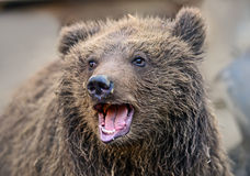 Carpathian Brown Bear Royalty Free Stock Images