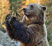 Carpathian Brown Bear Royalty Free Stock Photography