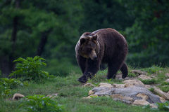 Carpathian brown bear walking to the forest Stock Photography