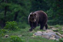 Carpathian brunbjörn som går till skogen arkivbild