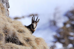Carpathian chamois in Bucegi Mountains. Carpathian chamois live in Carpathian mountains of Romania.She live only in the top of the mountains, Piatra Craiului Stock Photography
