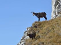 Carpathian chamois resting Royalty Free Stock Image