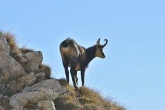 Carpathian chamois resting Royalty Free Stock Photo