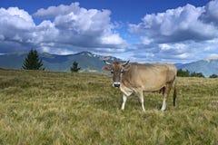 Carpathian cow Stock Images
