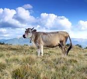 Carpathian cow Stock Photos