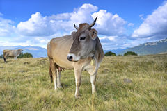 Carpathian cow Royalty Free Stock Photos