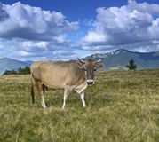 Carpathian cow Stock Photography