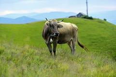 Carpathian cow Royalty Free Stock Image