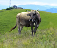 Carpathian cow Royalty Free Stock Image