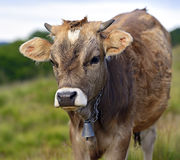 Carpathian cow Royalty Free Stock Photography