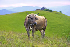 Carpathian cow Royalty Free Stock Images