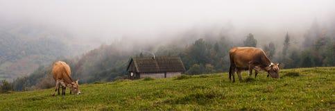 Carpathian cow Stock Photo