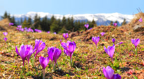 Carpathian crocuses Stock Image