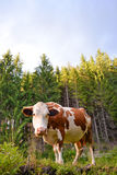 Carpathian curious cow in the pasture Royalty Free Stock Image