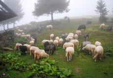 Carpathian får arkivfoton