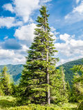 Carpathian fir tree Stock Images