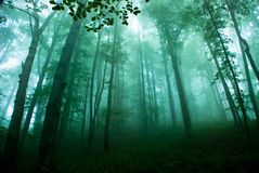 Carpathian Forest. The interior of Carpathian beech forest Stock Photo