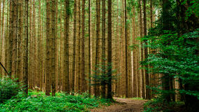 The Carpathian forest stock image