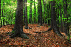 Carpathian forest and sun beams Royalty Free Stock Photos