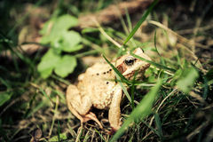Carpathian frog hiding in the grass Stock Image