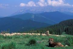 carpathian herde Arkivbilder