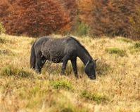 Carpathian horse Stock Photo