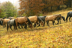 Carpathian horse Royalty Free Stock Photography