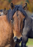 Carpathian horse Stock Images