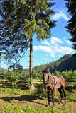 Carpathian horse waiting for his owner Royalty Free Stock Photography