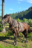 Carpathian horse waiting for his owner Royalty Free Stock Photos