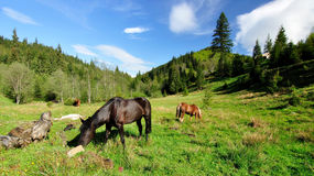 Carpathian horses. Farm horses graze in the Carpathian mountains. Summer. This farm is located near the village Bystrytsia (Ukraine Stock Photography