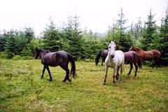 Carpathian horses. My trip to Vorokhta Carpathian, West Ukraine Stock Image