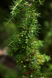 Carpathian juniper branch with green berries Royalty Free Stock Photos