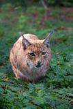 Carpathian Lynx Stock Image