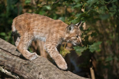 Carpathian Lynx cub Stock Photo