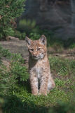 Carpathian Lynx juvenile Stock Photos