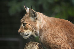 Carpathian lynx (Lynx lynx carpathica). Royalty Free Stock Photography